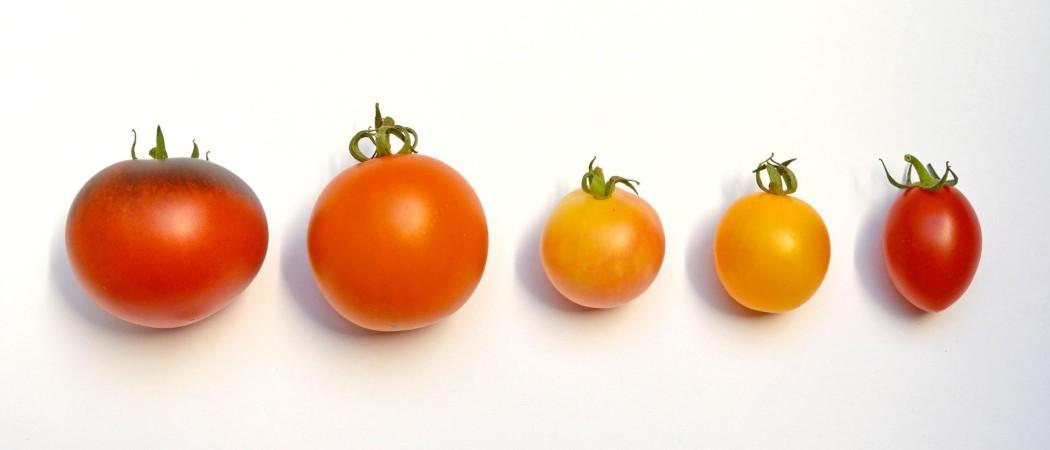 The Wonderful Tomato
